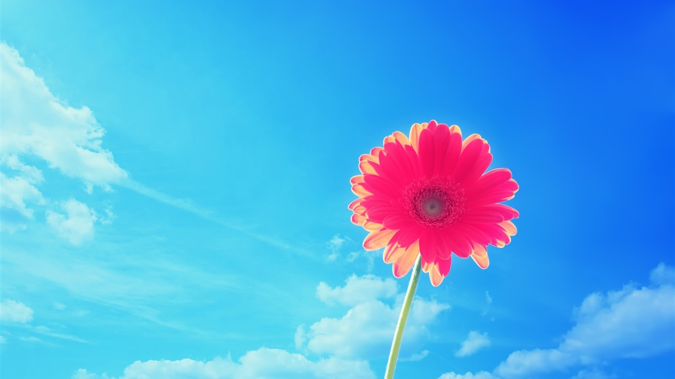 Pink Gerbera Flowers Macro Photography Wallpaper Preview 10wallpaper Com