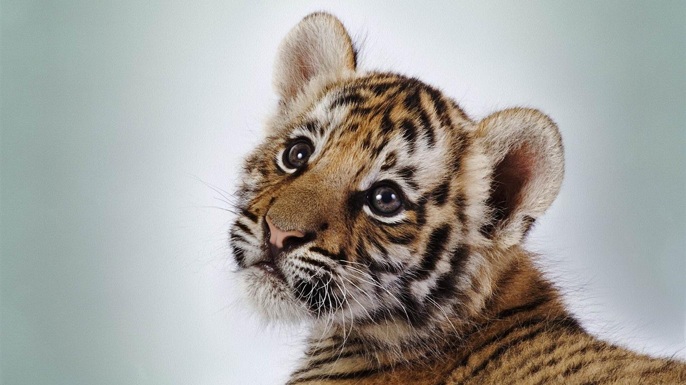 mignon b b tigre animale photographie fond d 39 cran 1366x768 t l chargement. Black Bedroom Furniture Sets. Home Design Ideas