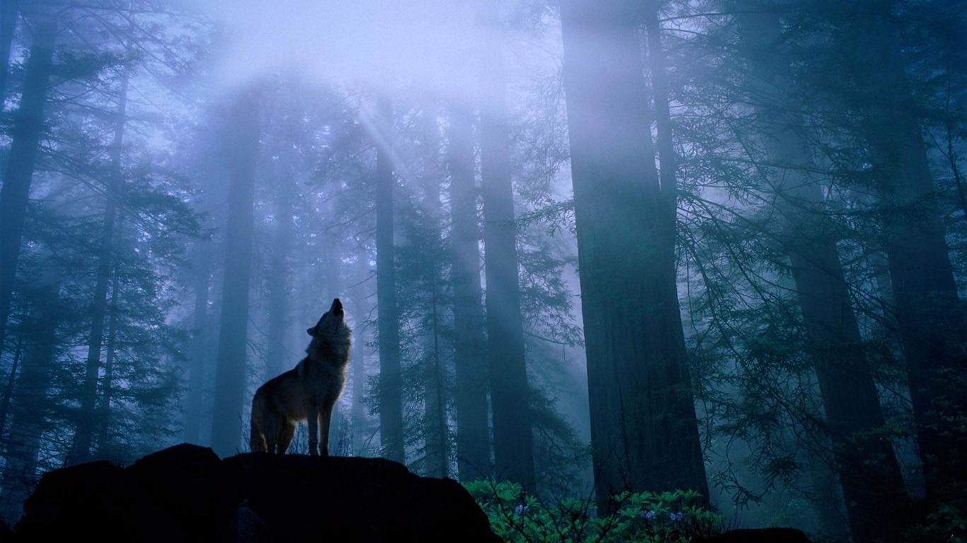 Simple Wallpaper Animal Night - howling_in_the_night-Animal_photography_wallpaper_1366x768  Photograph_217110      .jpg