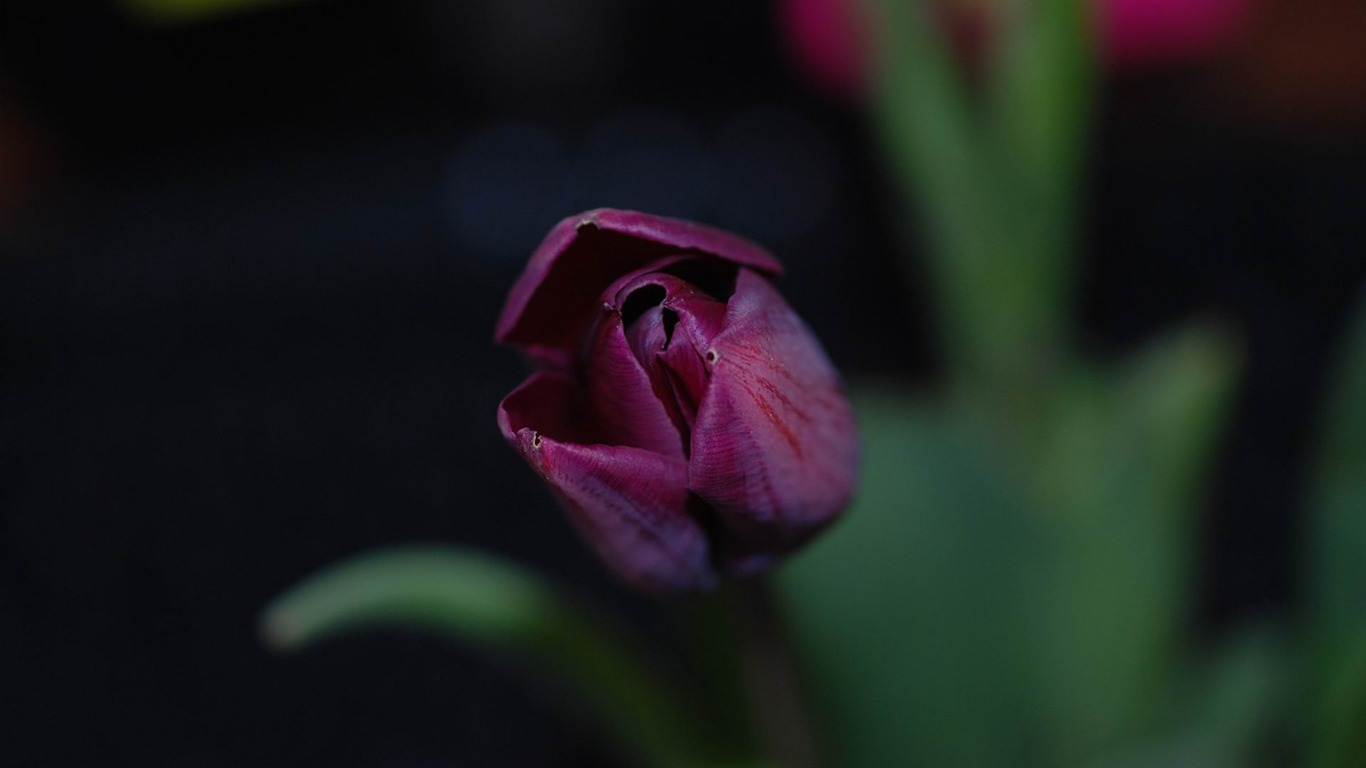 violet_tulip-Flowers_photography_Wallpaper2012.6.25