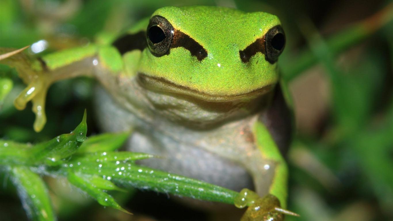 両生類のカエルグリーン 動物写真の壁紙プレビュー 10wallpaper Com