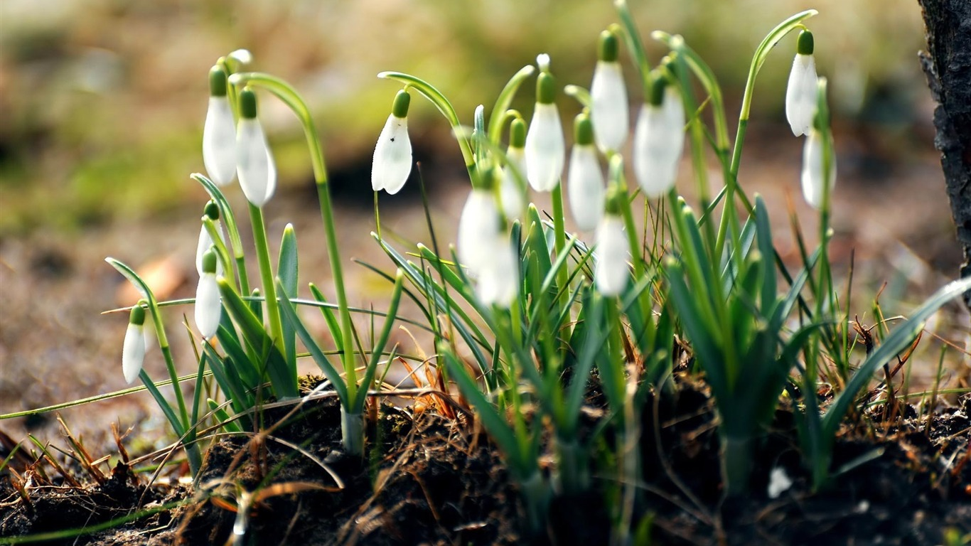 Aesthetic Snowdrop Flower Desktop Wallpaper Preview 10wallpaper Com