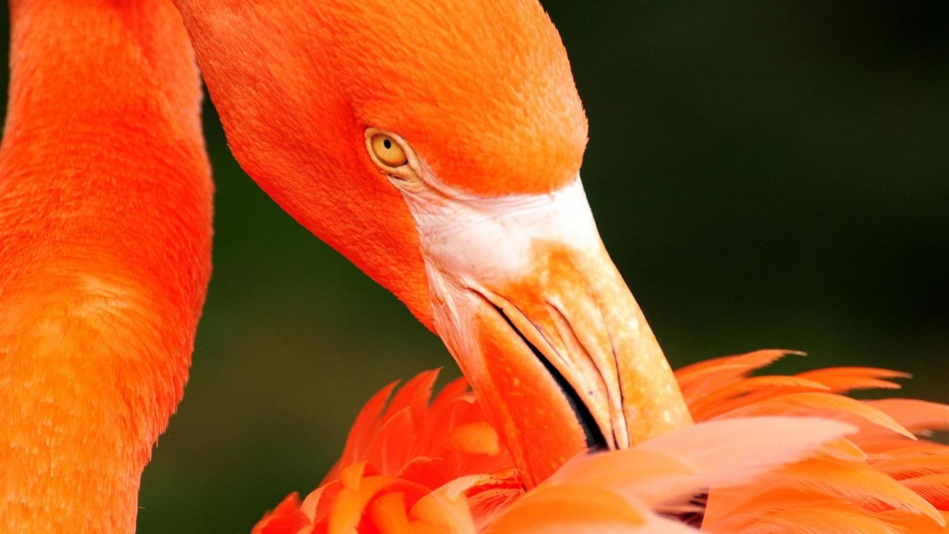 オレンジ色の白鳥 動物の世界の壁紙プレビュー 10wallpapercom
