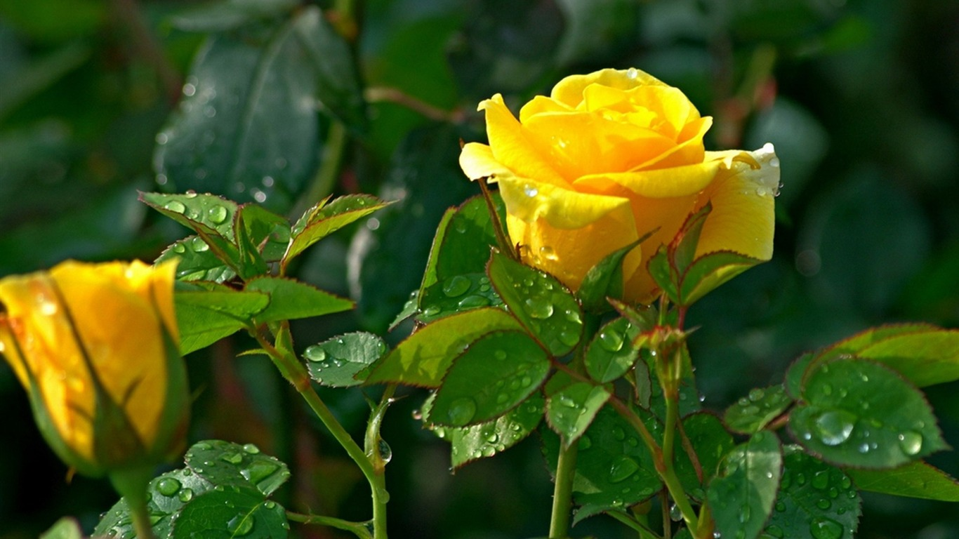 Yellow Rose Flowers Images Amazing Wallpapers