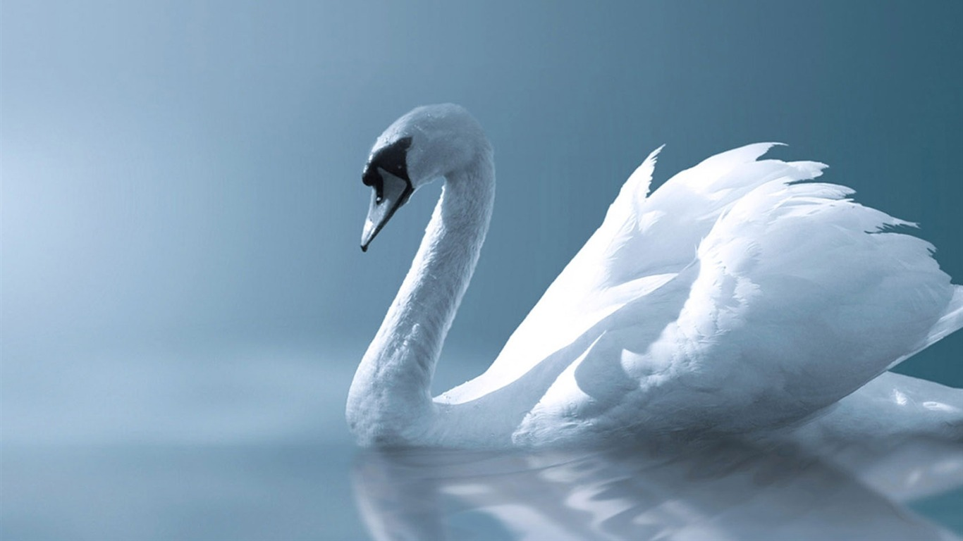 angel_swan-wild_animals_photo_wallpaper2012.9.10