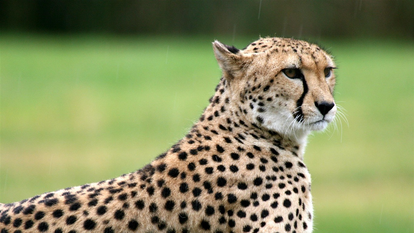 cheetah-wild_animals_photo_wallpaper2012.9.10