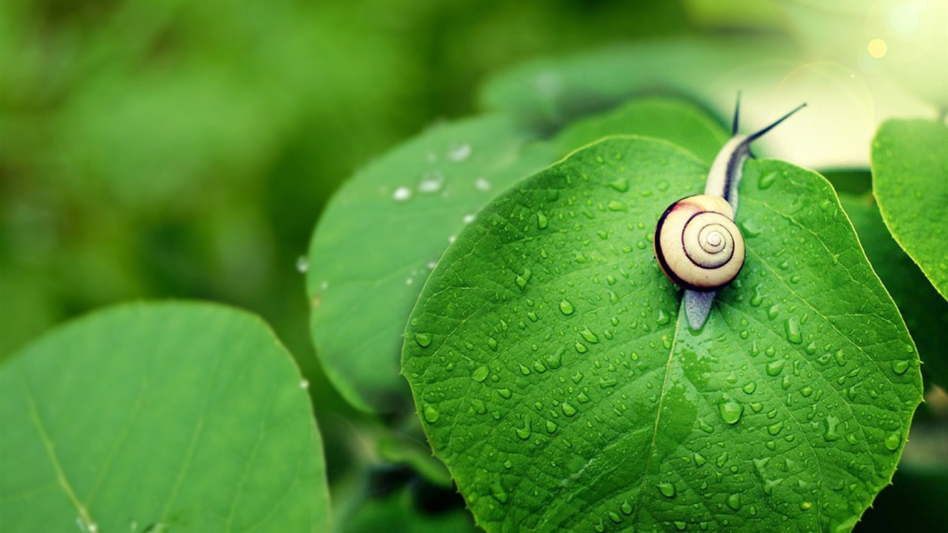 Rain_on_the_green_leaves_of_the_snail-Animal_Widescreen_Wallpaper2012.10.18