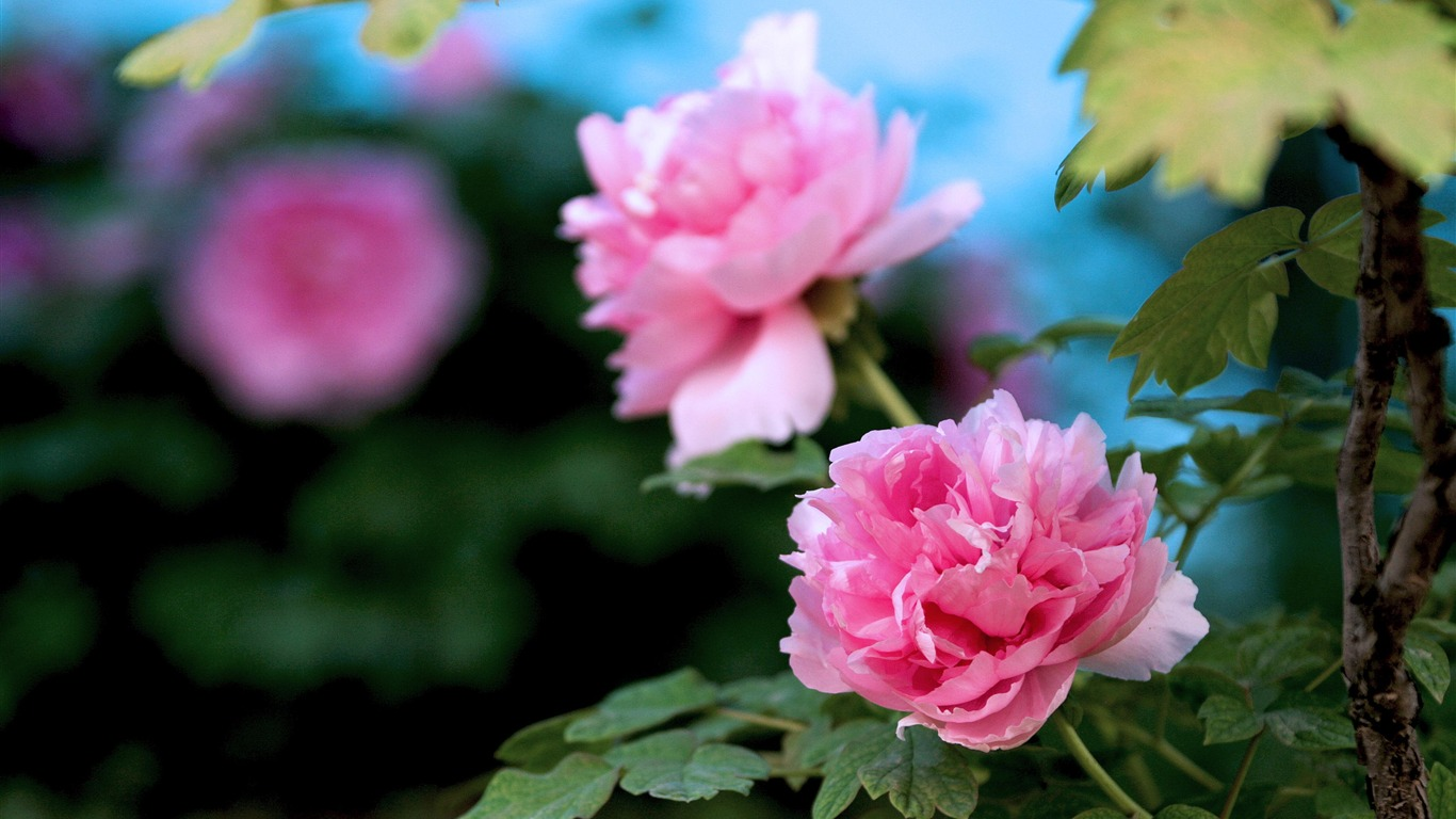 Beautiful flowers bright peony flower photography wallpapers preview beautiful flowers bright peony flower photography wallpapers preview 10wallpaper izmirmasajfo