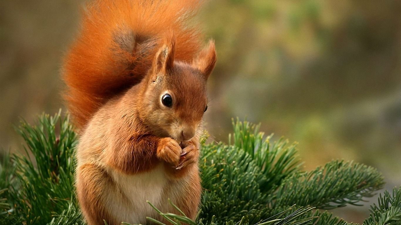 Forest Elf-cute squirrel HD Wallpapers picture 03 - 1366x768