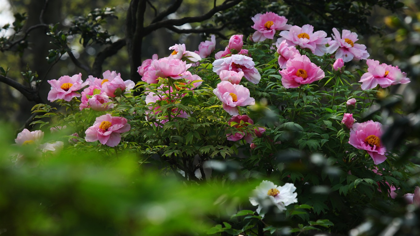 Garden Bright Peony Flower Photography Wallpapers Preview