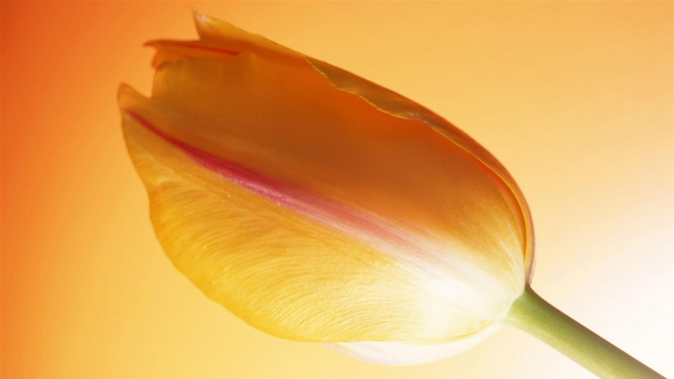 Orange_Tulip-Flowers_Widescreen_Wallpaper