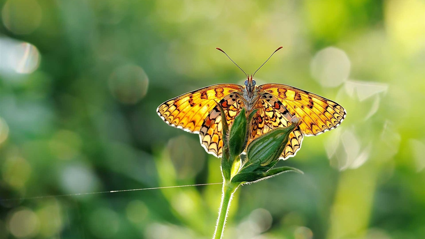 butterfly-Animal_Wizard_photography_wallpaper2012.12.2
