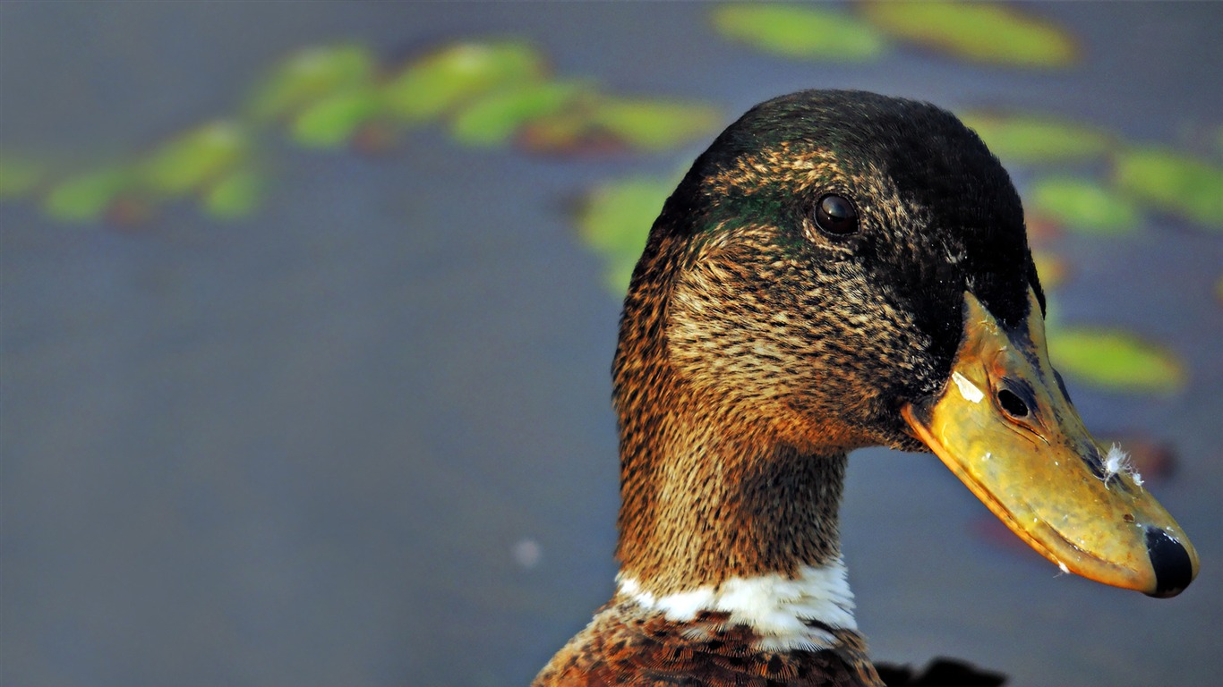 duck-Animal_Wizard_photography_wallpaper