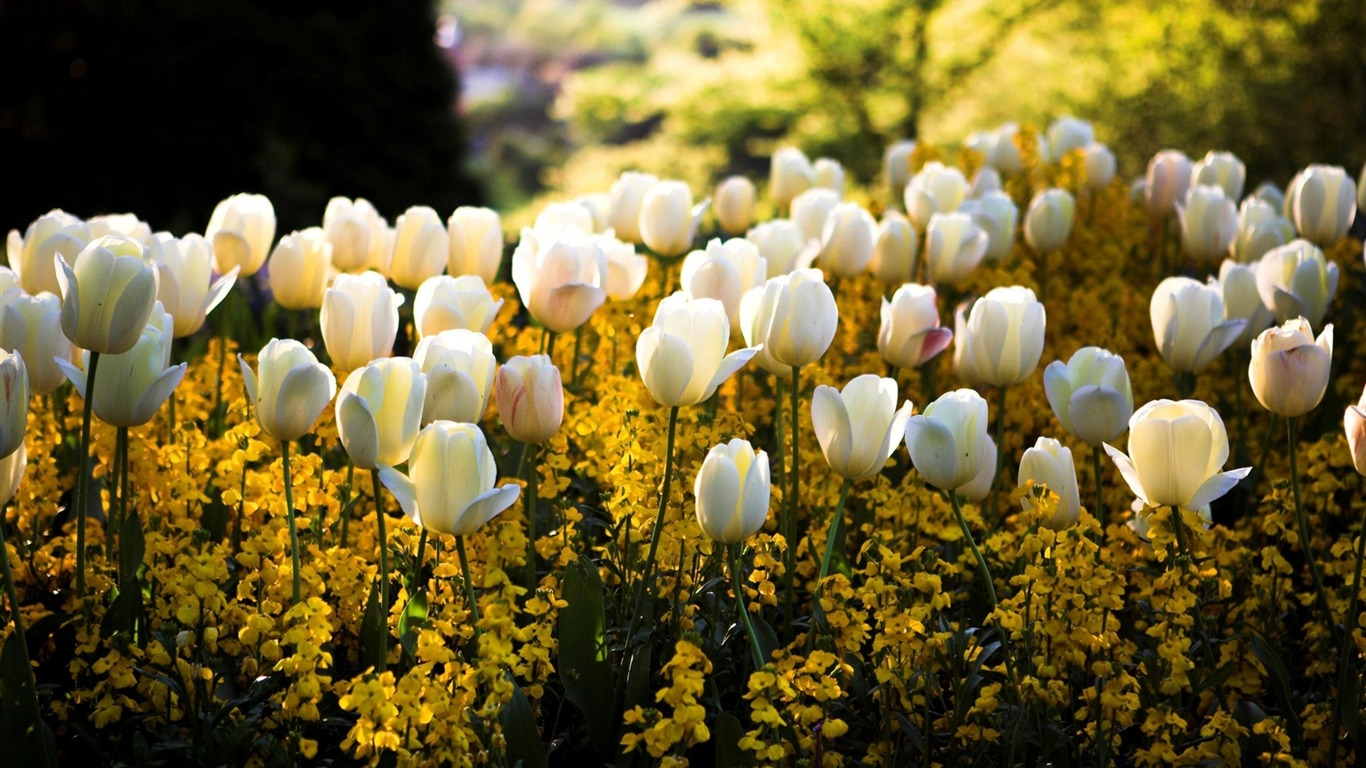 white_yellow_tulip-Beautiful_flowers_wallpaper2012.12.28