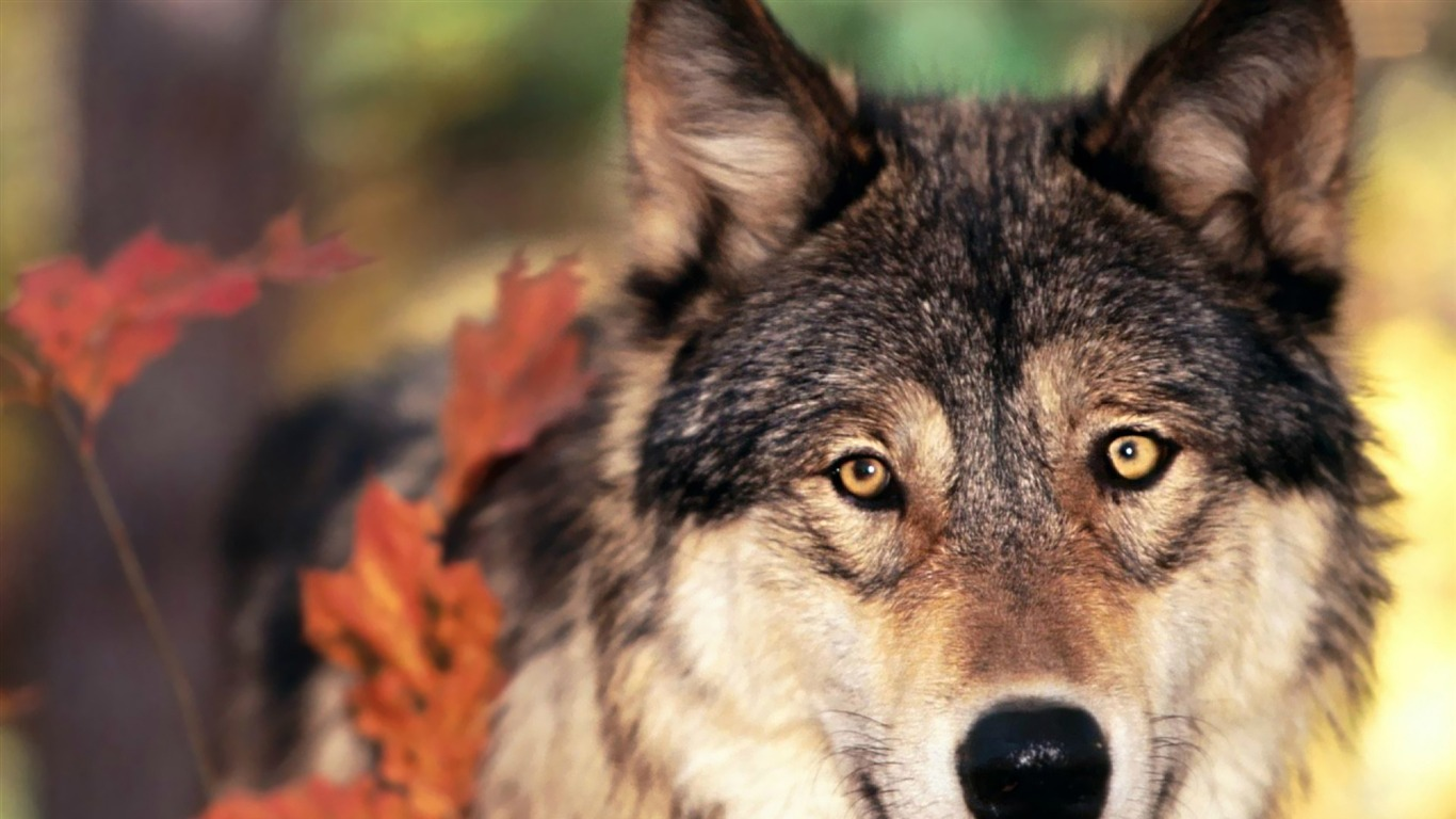 wolf-Animal_Wizard_photography_wallpaper