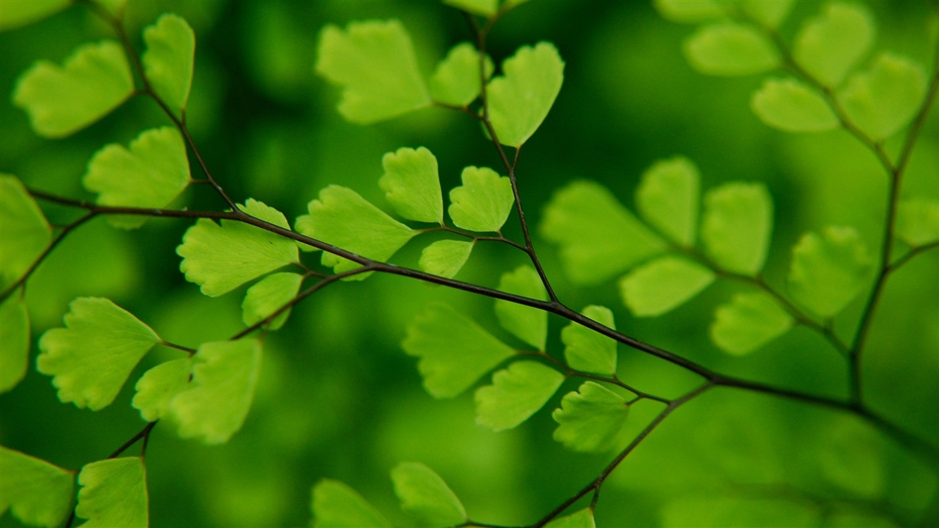 green_leaves_on_a_branch-Fresh_plant_macro_wallpaper2013.1.20