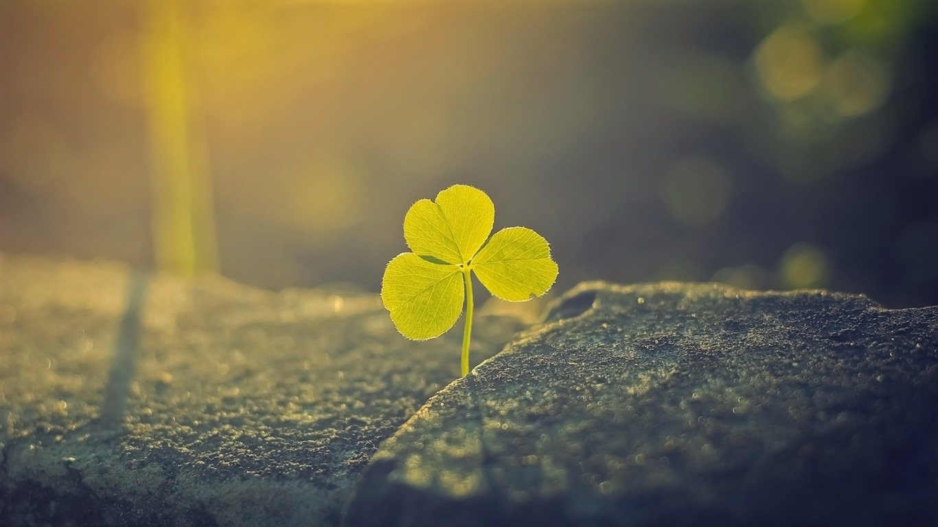 single_clover_foil-Fresh_plant_macro_wallpaper2013.1.20