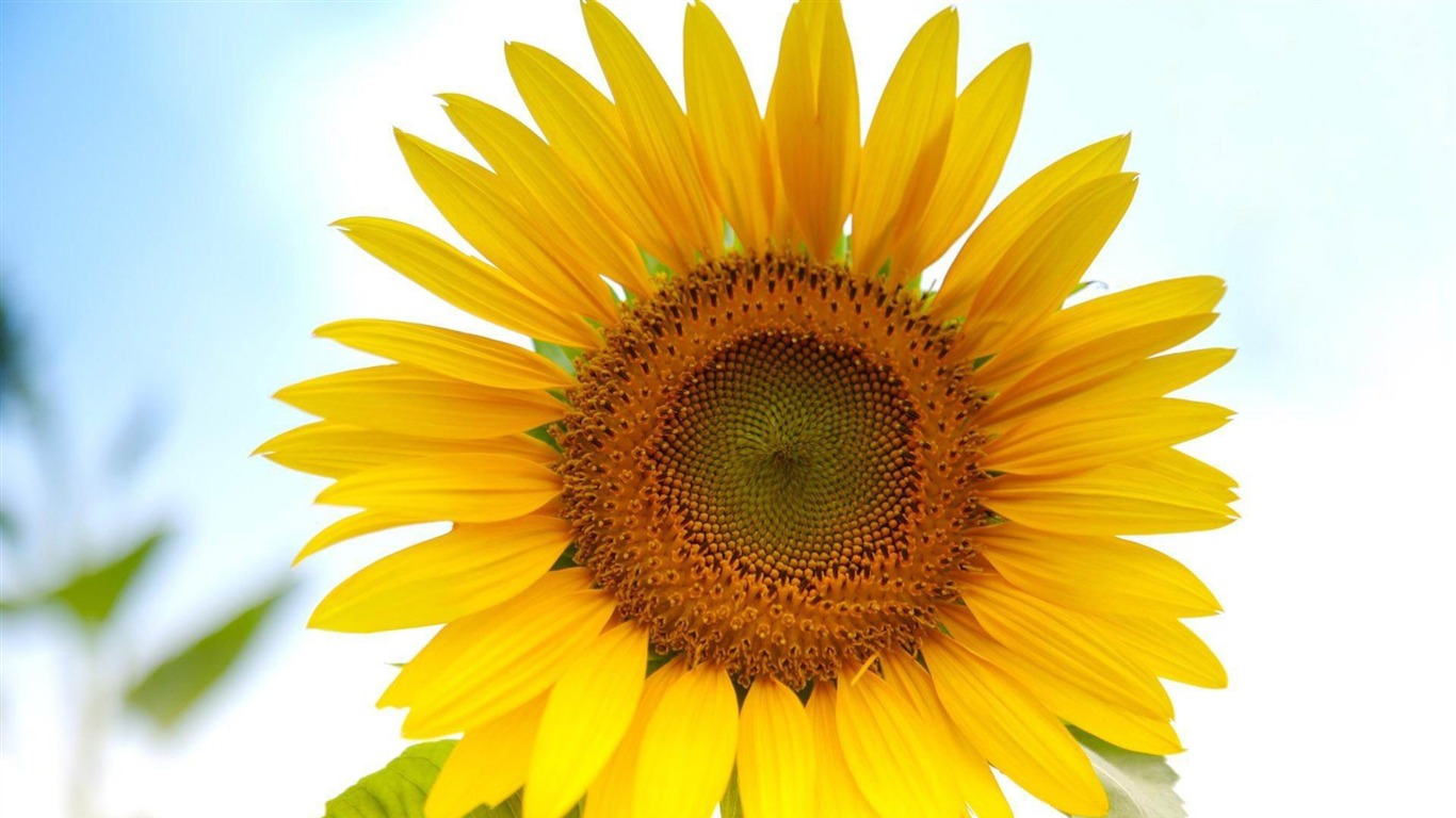 sunflower-beautiful_flowers_Picture_wallpaper2013.1.6