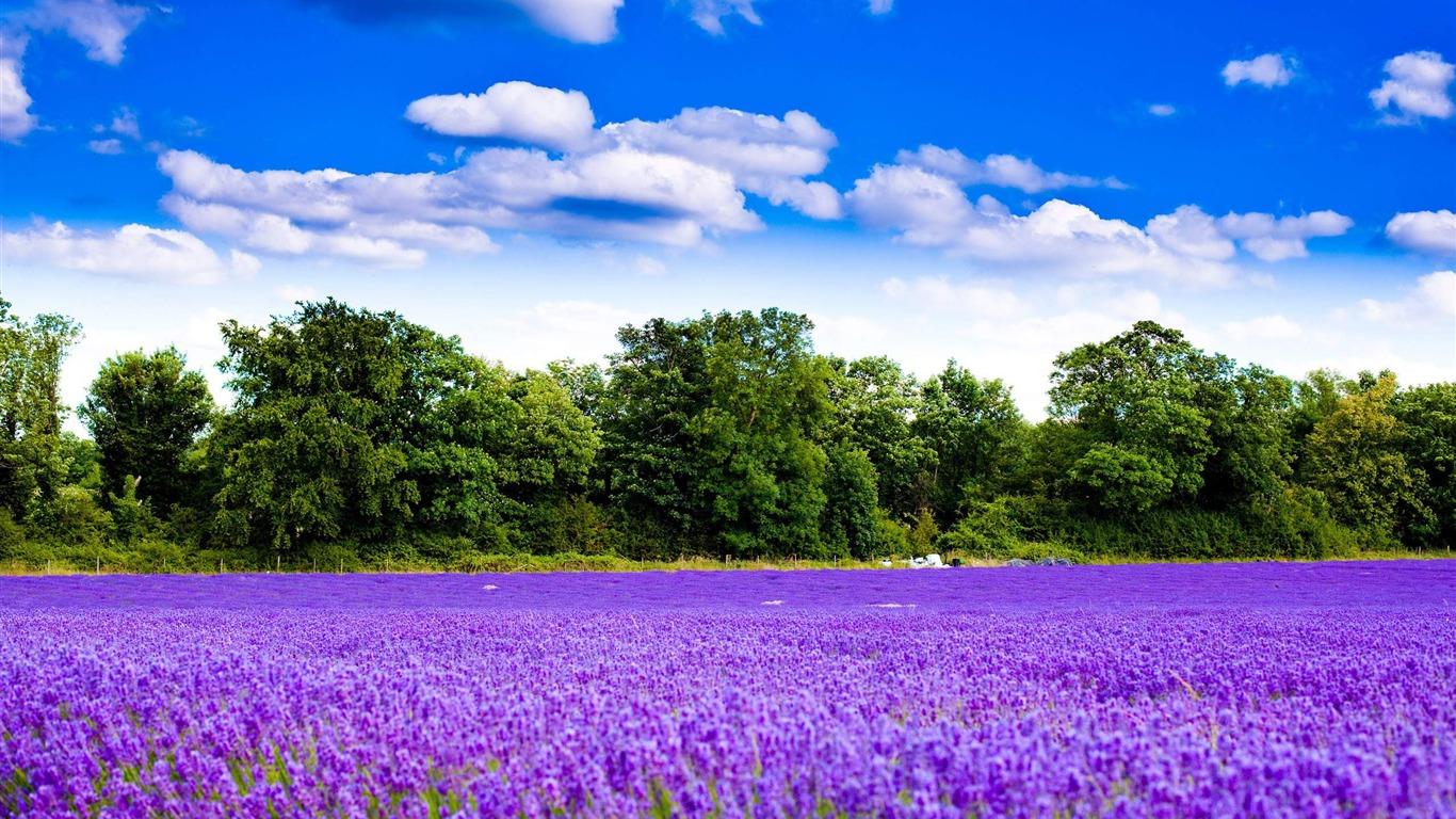 ラベンダーガーデン-自然の風景のHDの壁紙-1366x768ダウンロード | 10wallpaper.com