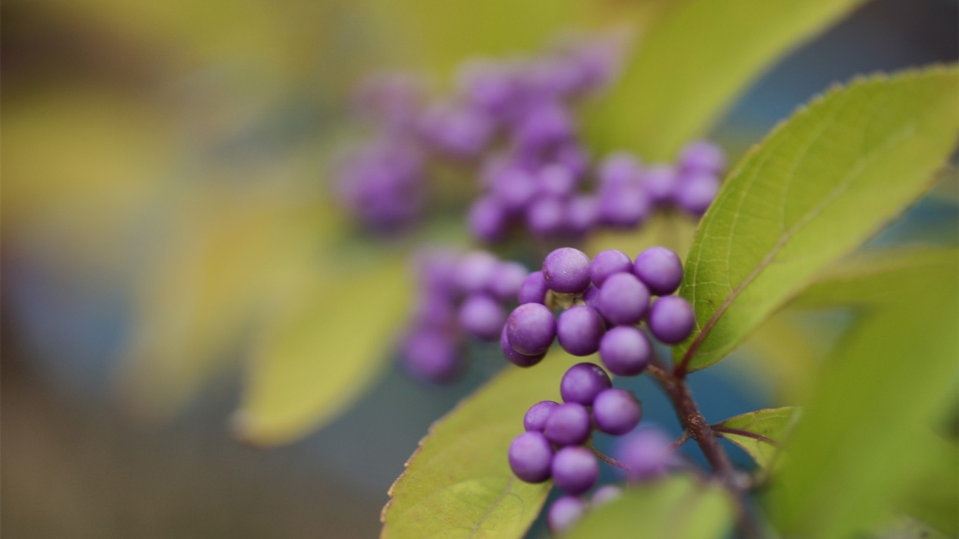 berries_leaves_blur-Plant_flowers_macro_Wallpaper2013.3.25