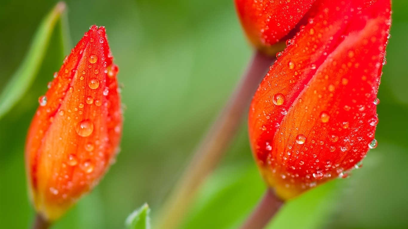 petals_stem-Plant_flowers_macro_Wallpaper2013.3.25