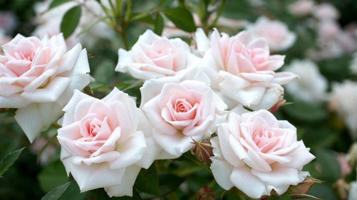 White Rose Garden Flowers Photography Hd Wallpaper Preview 10wallpaper