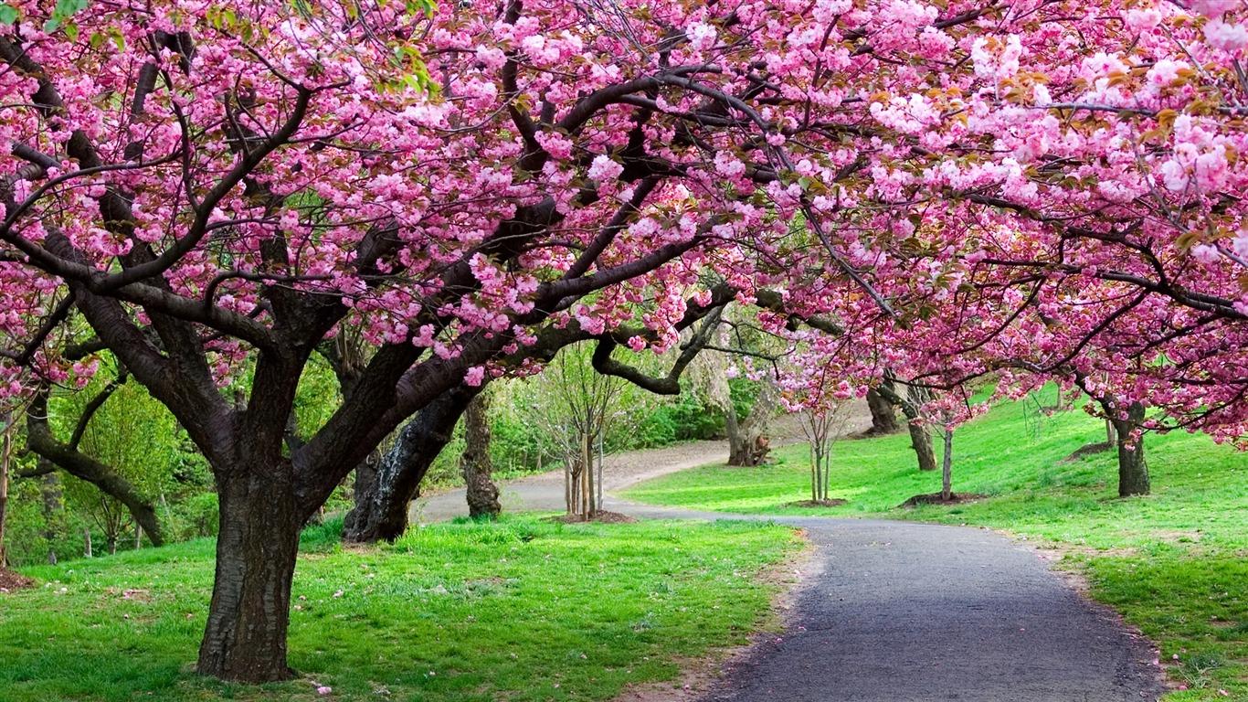 2013 saison cerisiers en fleurs au Japon Photographie Fond d'écran Aperçu | 10wallpaper.com