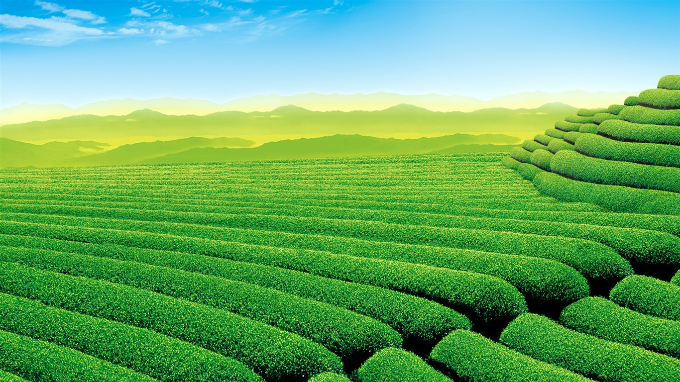 Green Tea Plantation Scenery HD Desktop Wallpaper Preview