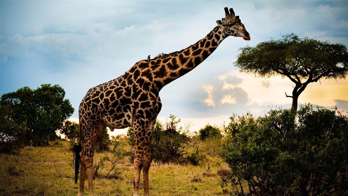アフリカキリン 動物の世界写真の壁紙プレビュー 10wallpaper Com