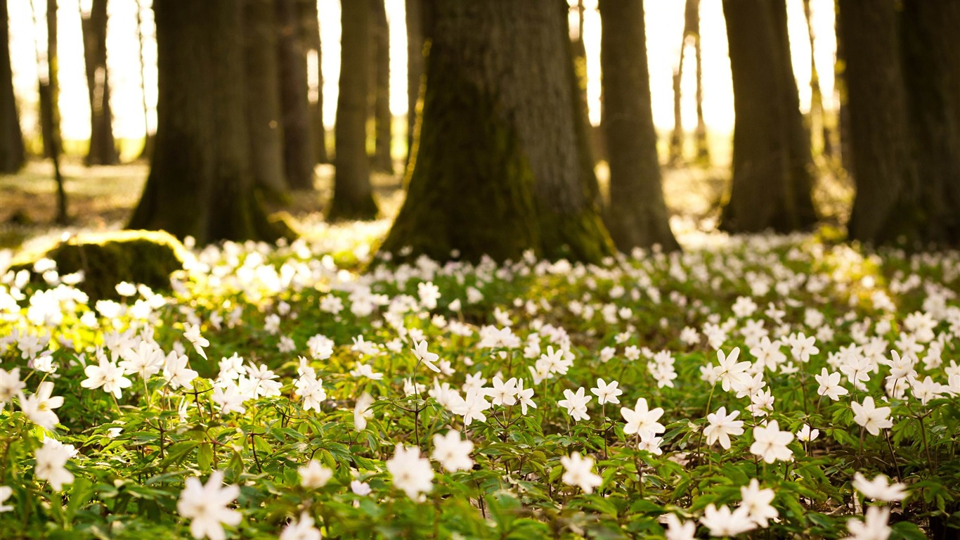 white_forest_flowers-Nature_Landscape_wallpaper2013.4.21
