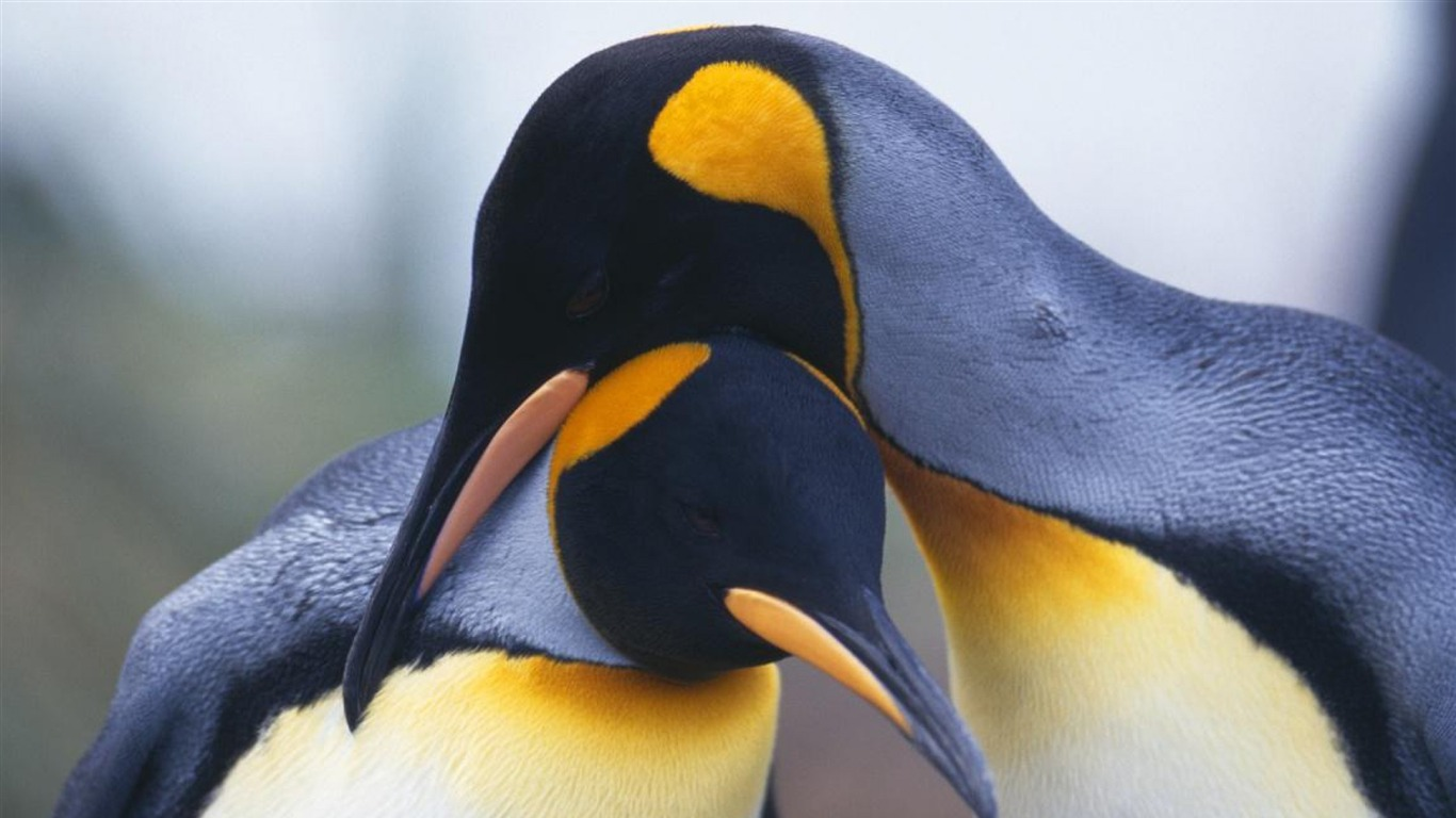 penguins_couple-Animal_HD_Photo_Wallpaper2013.7.1