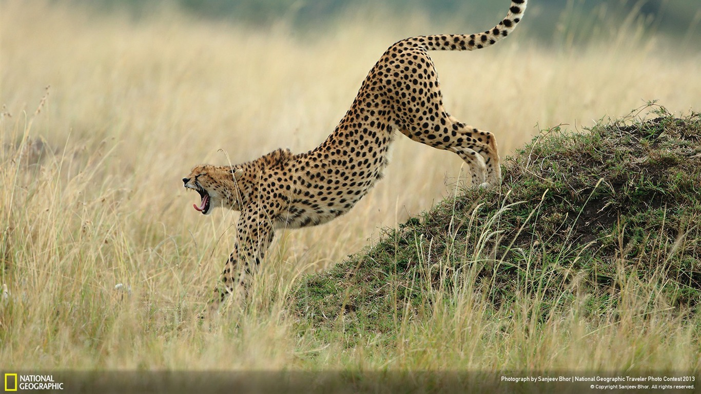 Ready_for_action-National_Geographic_Wallpaper2013.8.2