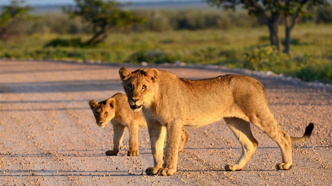 Lion Lionceau Route Animale Photo Hd Fond D Ecran Apercu