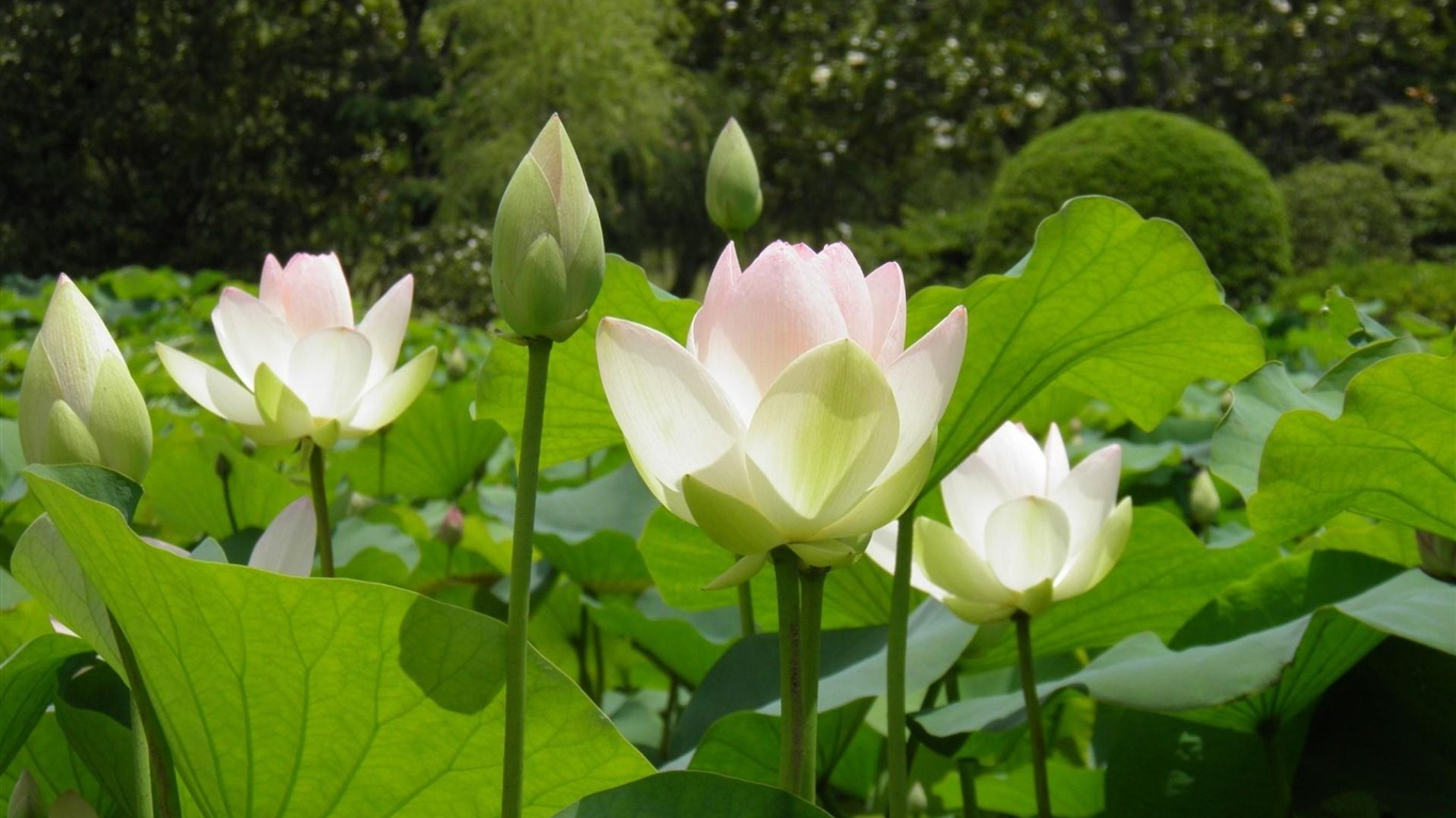 lotus_leaves_herbs_light-Photos_HD_Wallpaper2013.8.11