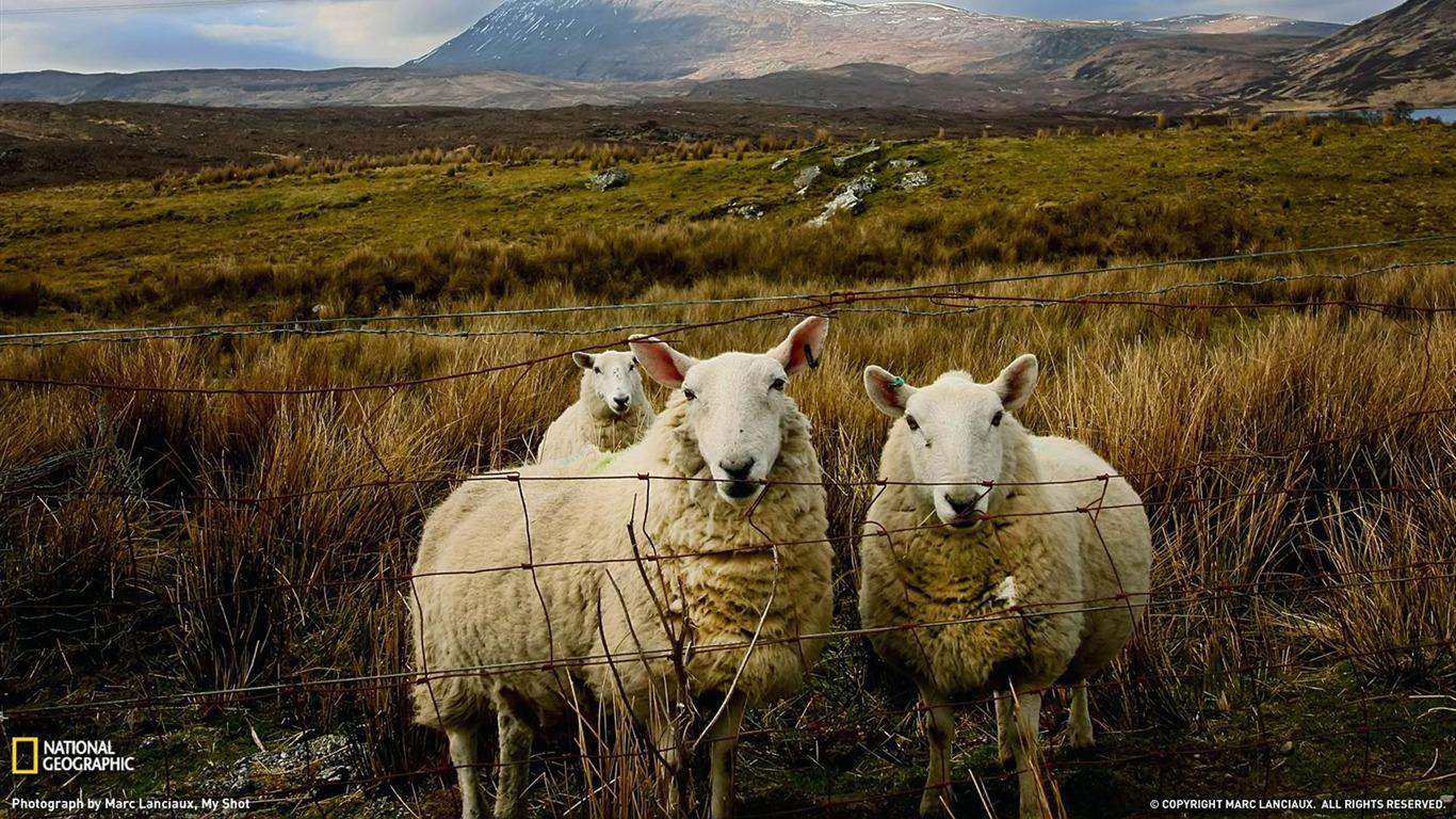 Scottish Sheep National Geographic Wallpaper Avance