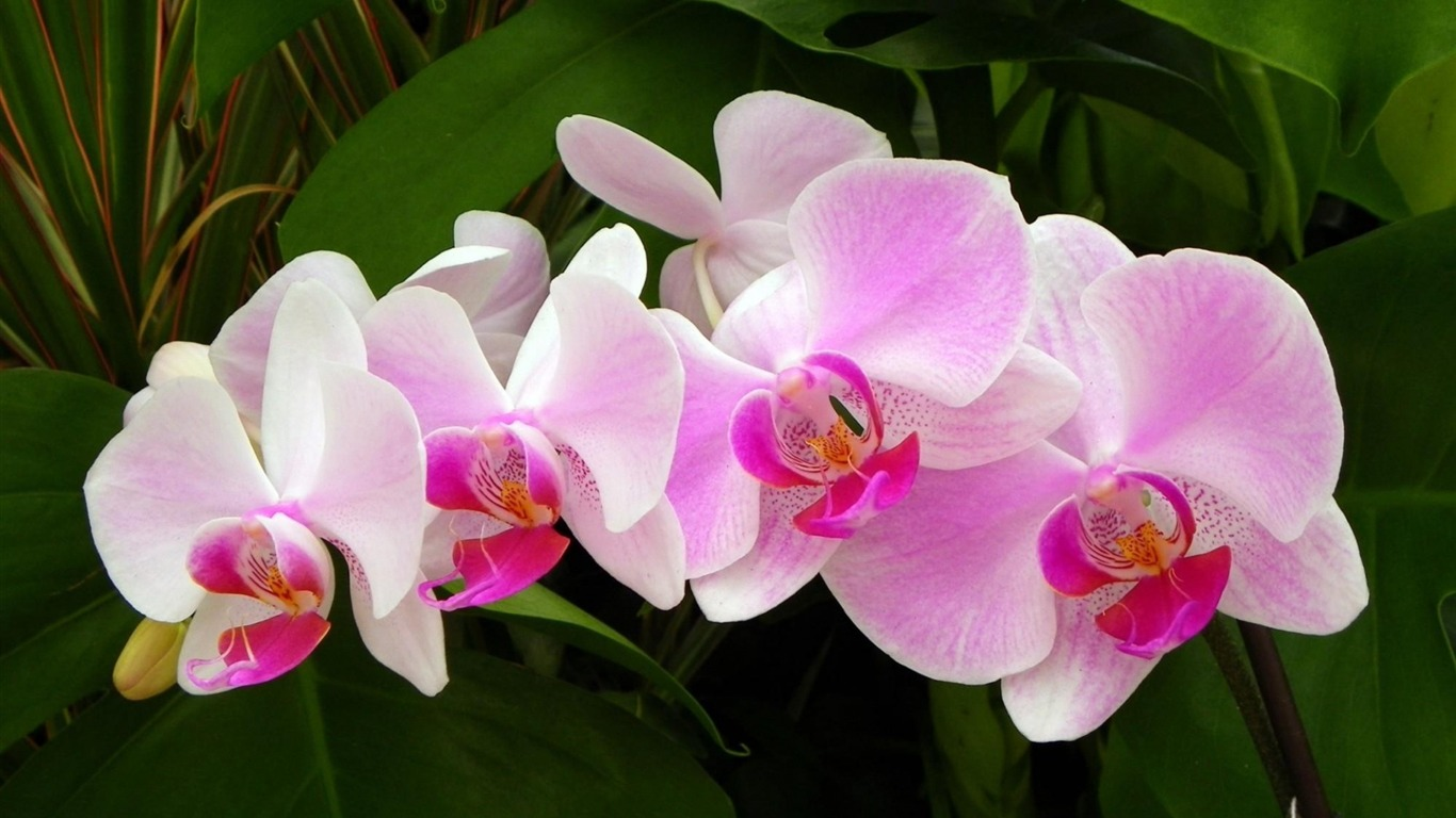 pink_orchid-Flowers_HD_Wallpaper2013.10.14