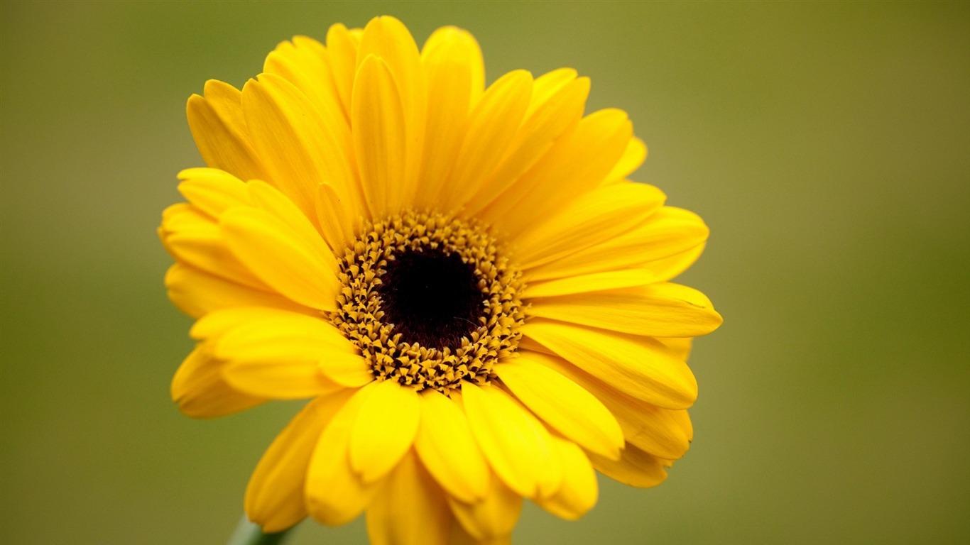 ガーベラ黄色の花 植物の壁紙プレビュー 10wallpaper Com