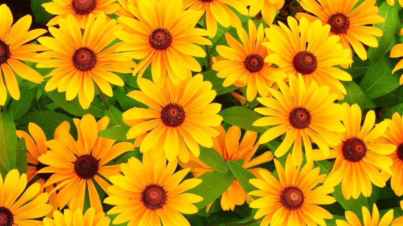 黄色のルドベキアの花鮮やか 植物写真の壁紙プレビュー 10wallpaper Com