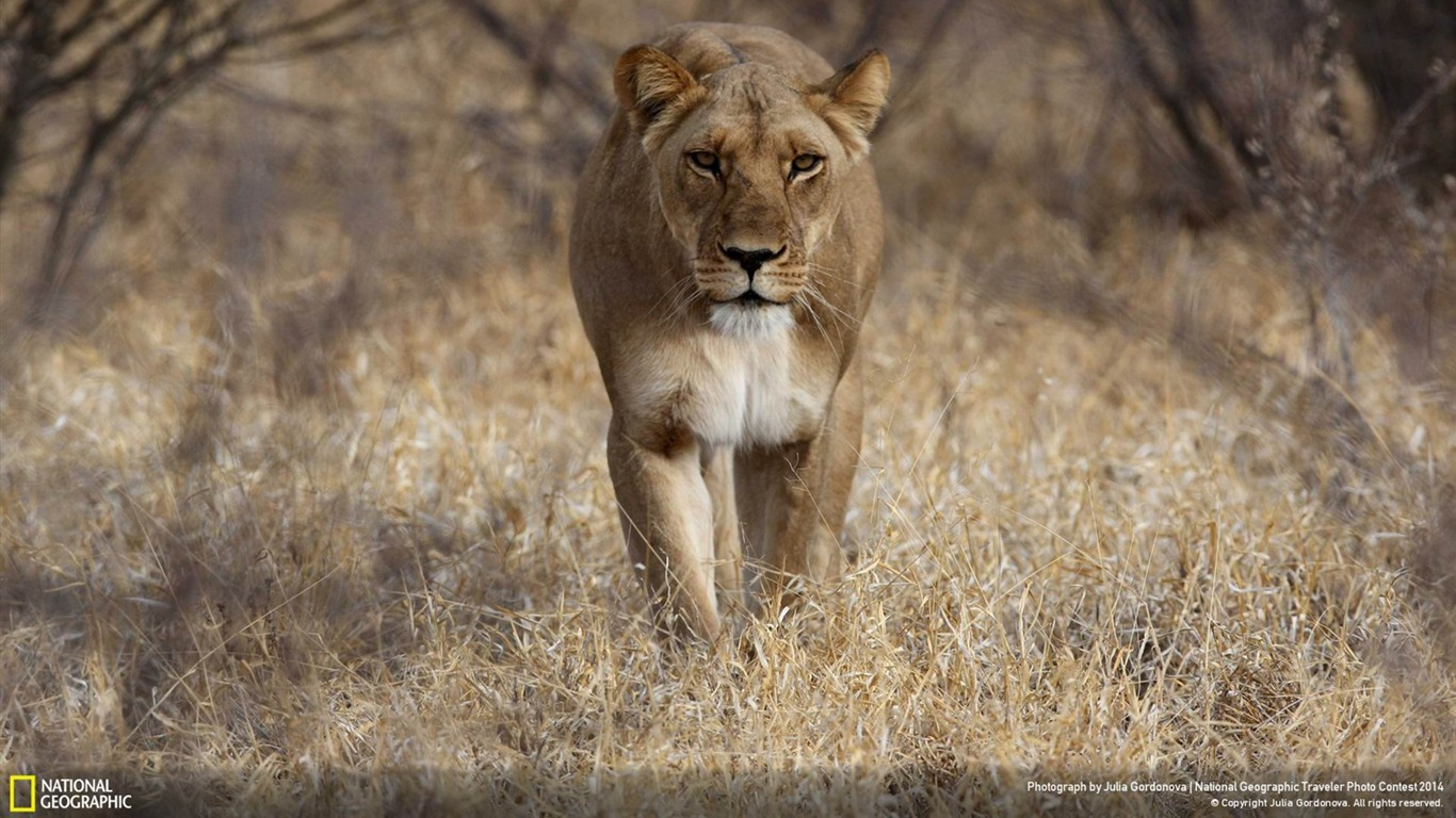 Ferocious_lion-National_Geographic_Wallpaper2014.6.21
