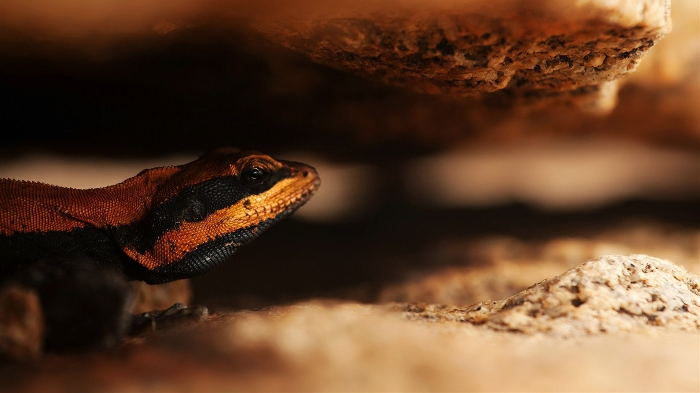 lizard_macro-Animal_Photo_Wallpaper2014.6.12