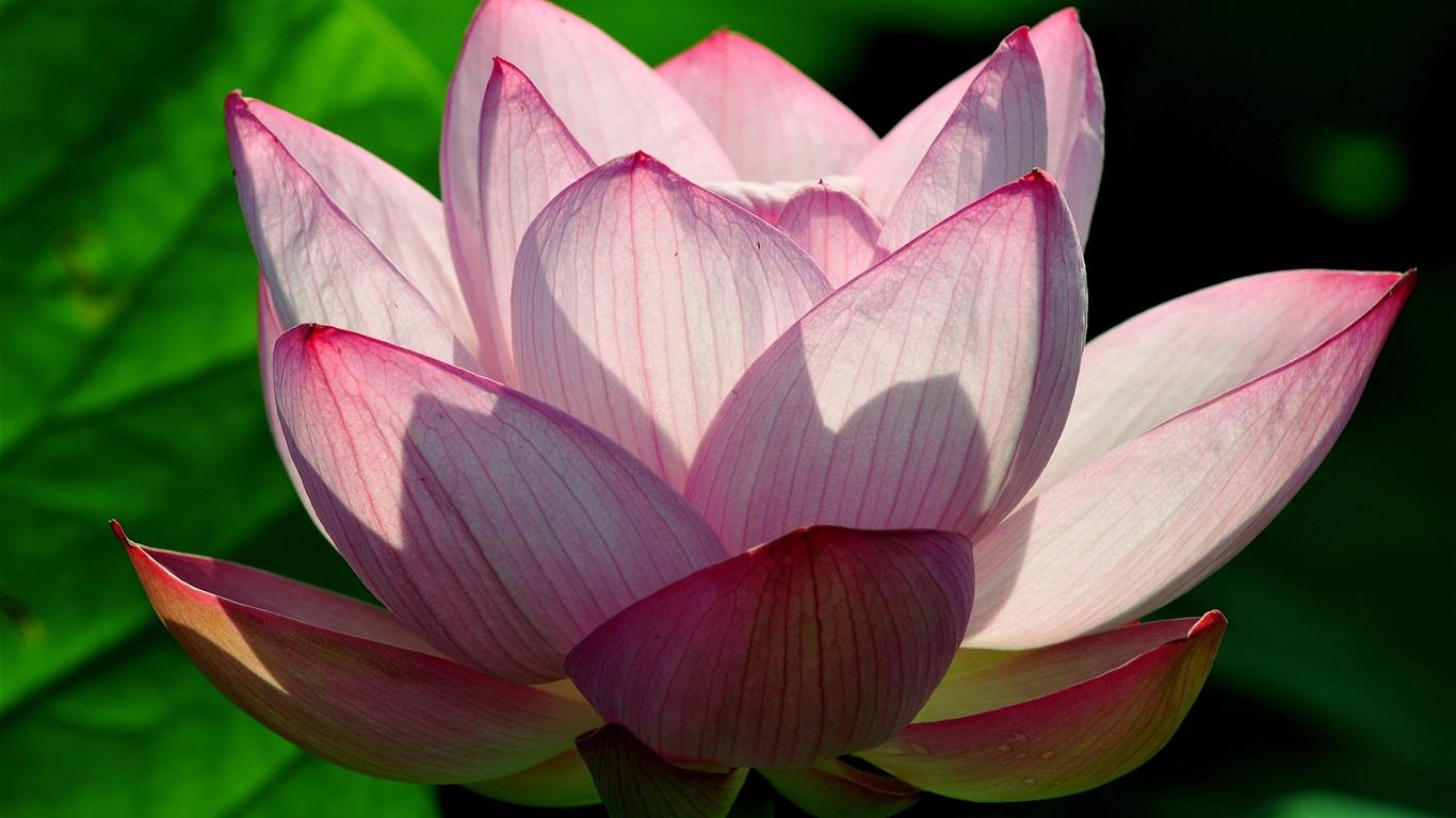 Pink Lotus Flower Photography Hd Wallpaper Preview 10wallpaper