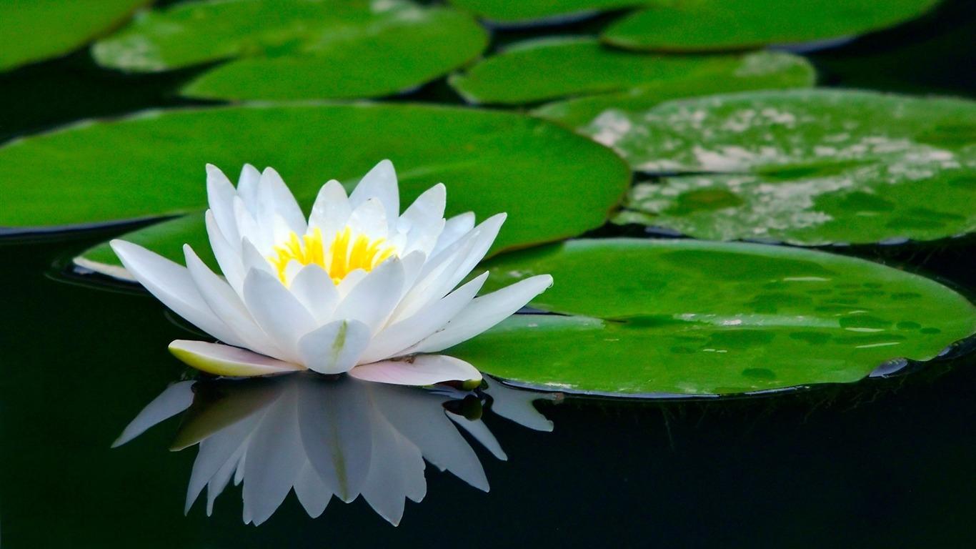 White lotus flower photo hd wallpaper preview 10wallpaper plants white lotus flower photo hd wallpaper izmirmasajfo
