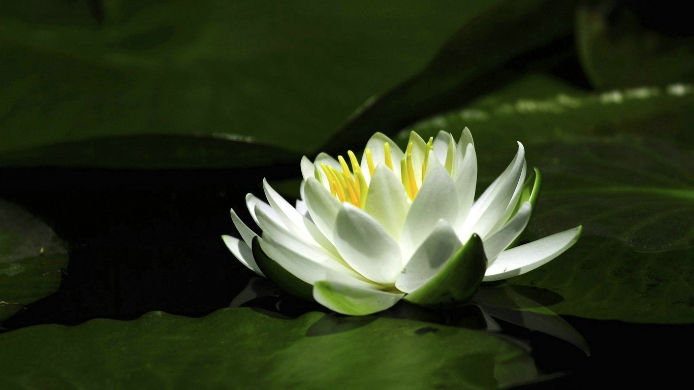 Lotus Flower Photography