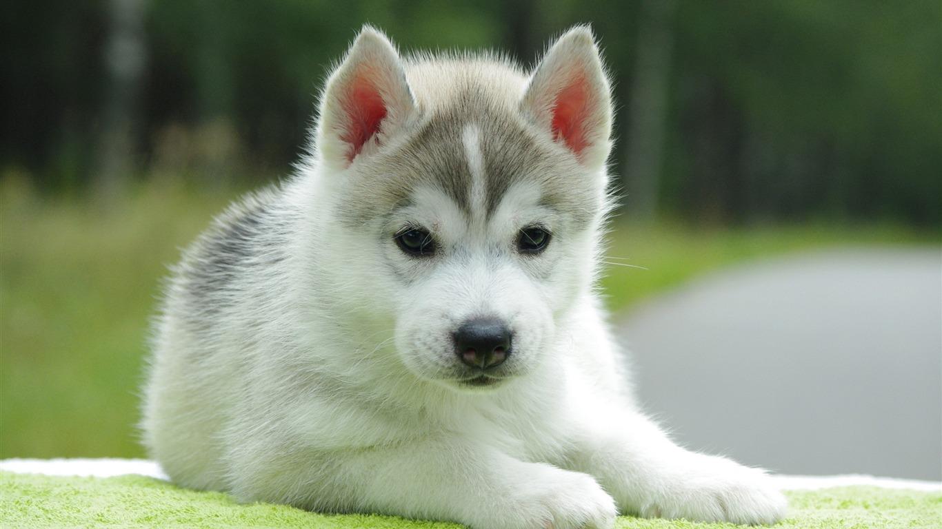 Cute Pomsky Puppy-Animal photo