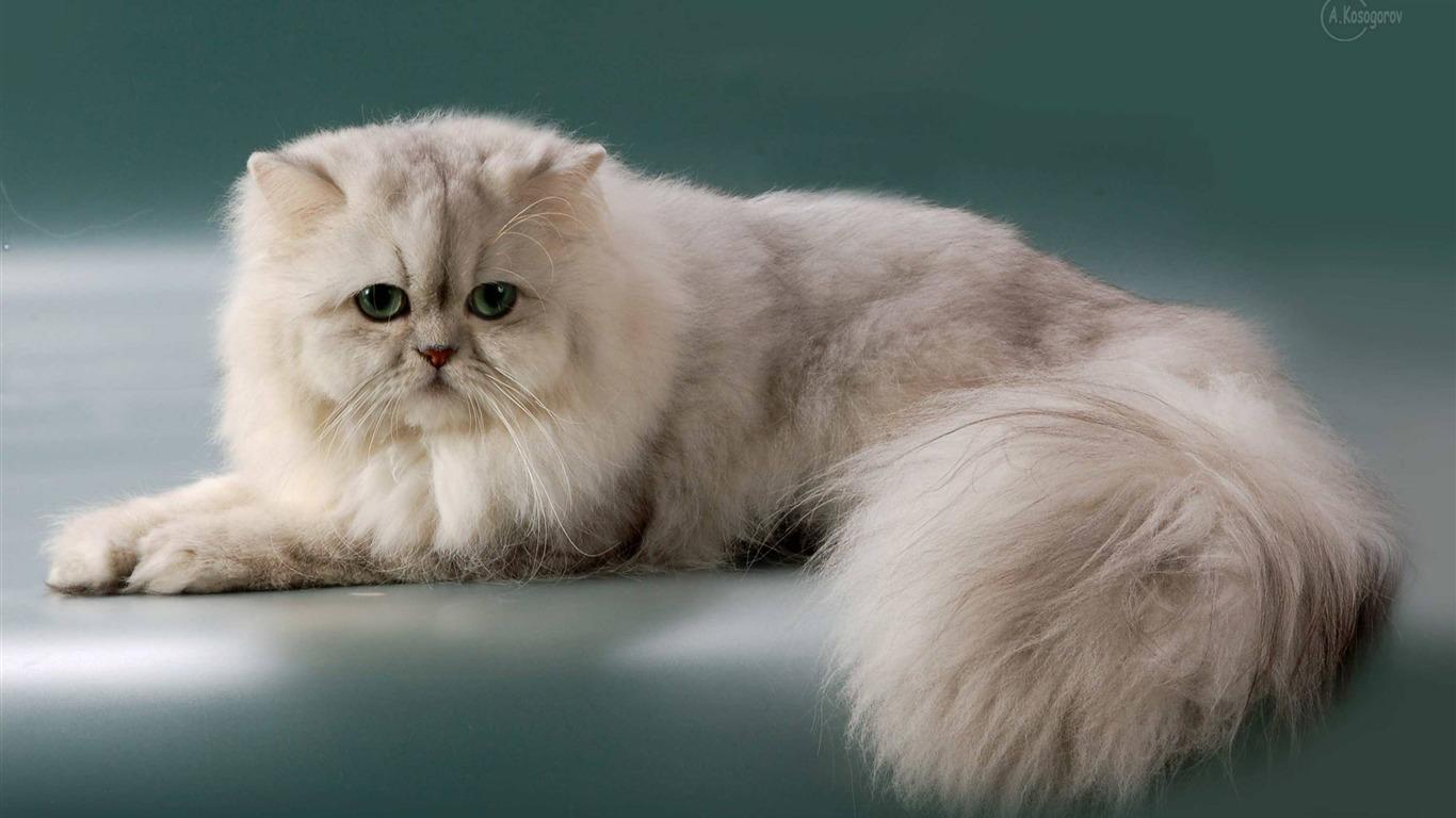 Сколько лет живут персидские кошки в домашних условиях: факты 2