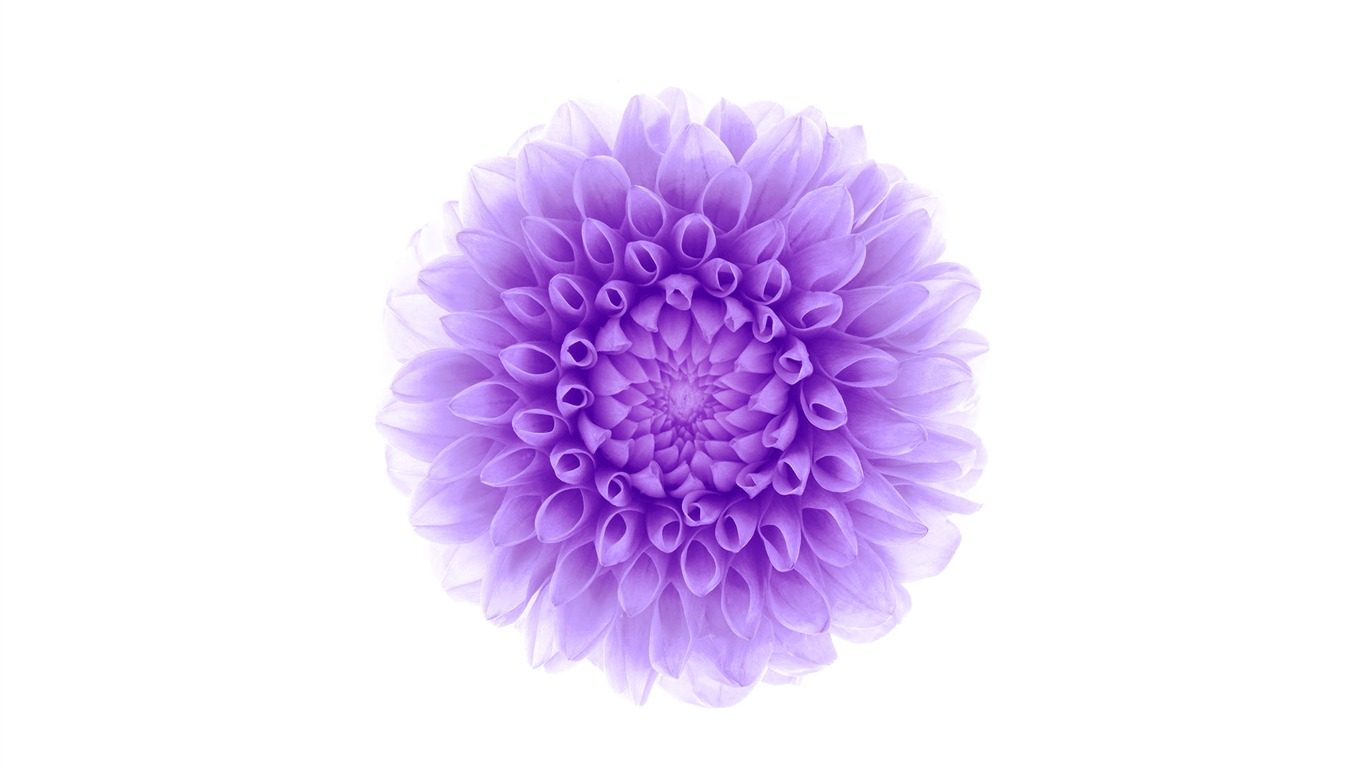 purple_flower-Apple_iOS8_iPhone6_Plus_HD_Wallpaper