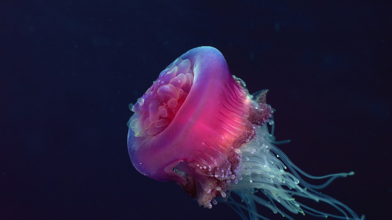 Crown_jellyfish-Windows_10_HD_Wallpaper2015.1.2