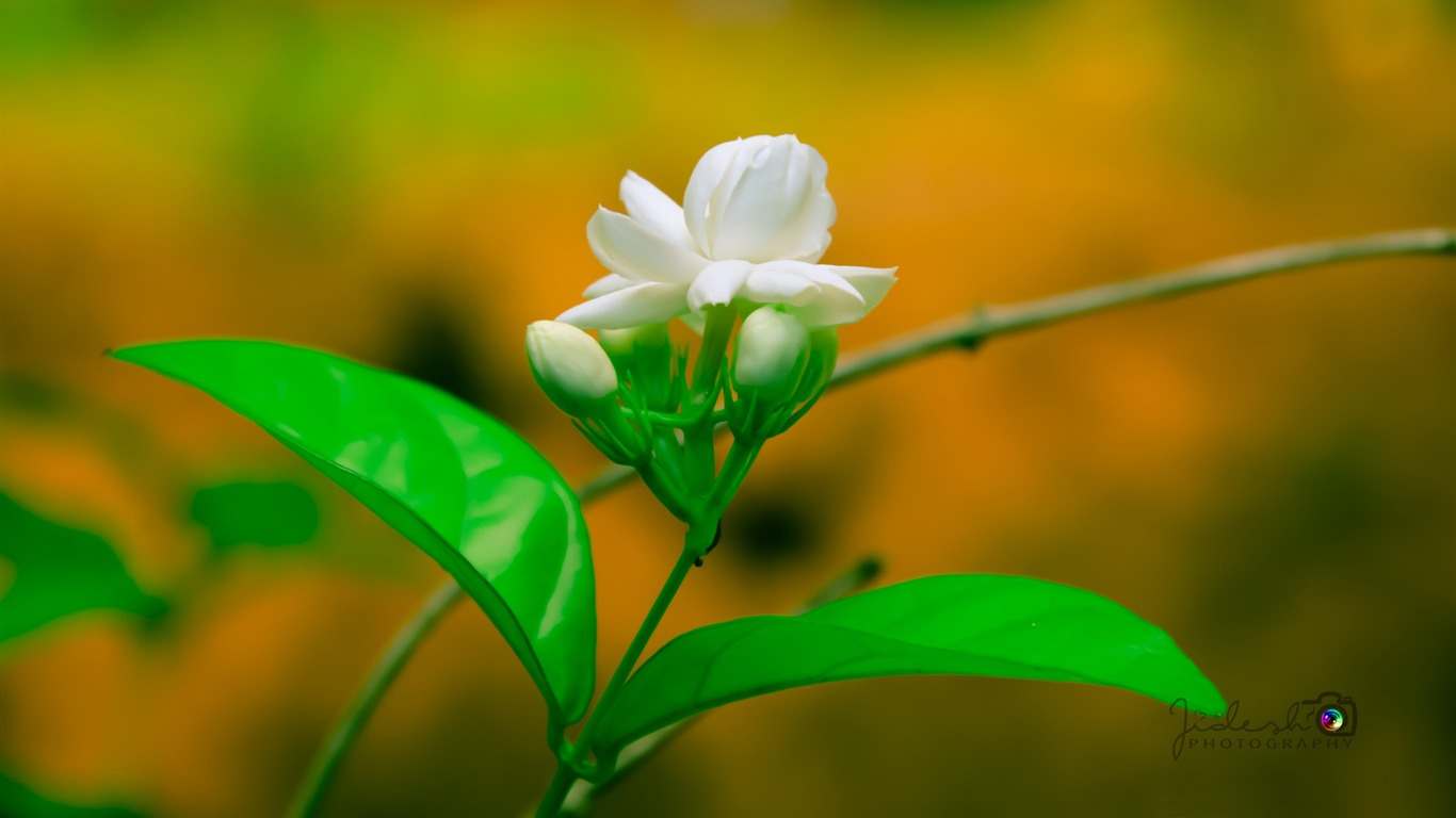 Jasmine Flower Hd Widescreen Wallpaper Preview 10wallpaper Com