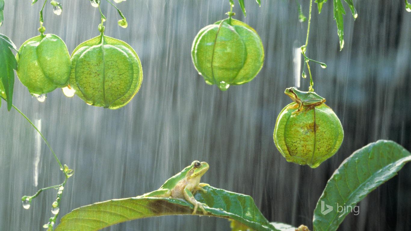 雨カエル 2015 Bingの壁紙プレビュー 10wallpaper Com