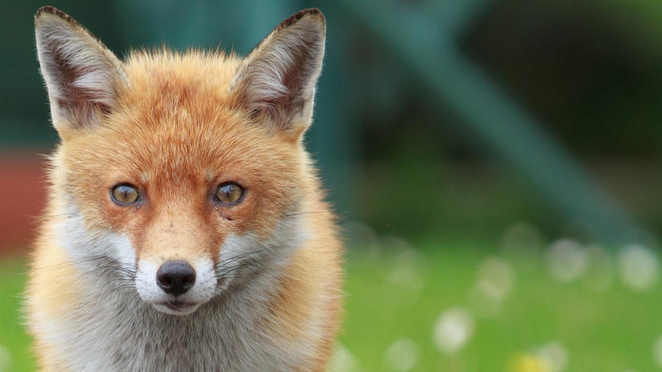 fox face eyes blurring-Fotografia HD Wallpaper Visualização |  10wallpaper.com